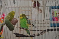 Ava and Striker the parakeets